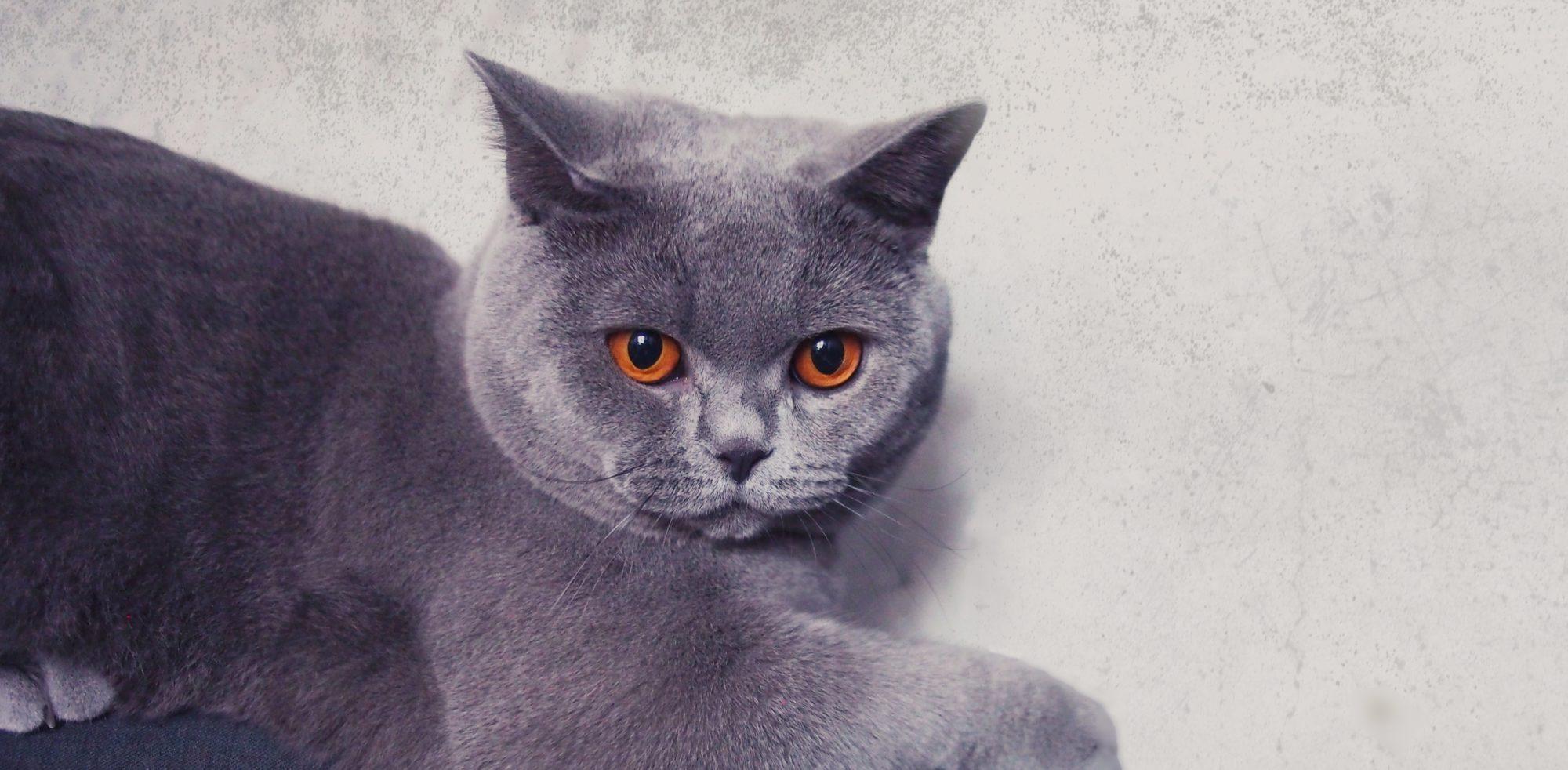 hodowla kotów brytyjskich